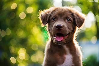 Pseudowut kann auch Hunde befallen. Rohes Schweinefleisch ist die Hauptinfektionsquelle.