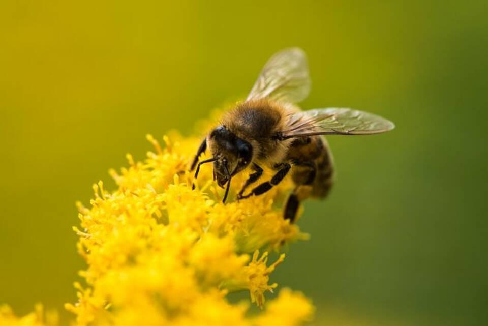 Bienen, Hummeln, Bestäuber, Stadt, Land