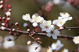 Heuschnupfen, pollenassoziierten Nahrungsmittelallergie