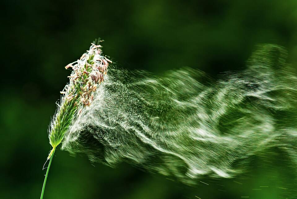 Grashalmspitze mit wegfliegendem Pollen-Nebel