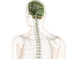 Nervenfasern, ZNS