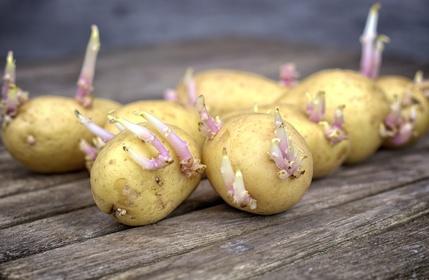 Solanin, Kartoffeln