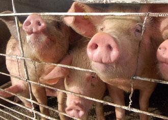Antibiotika in der Massentierhaltung gefährden Millionen Menschen
