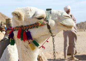 Kamele gelten als Hauptüberträger des Mers-Virus. Beim Menschen verläuft die Infektion in den meisten Fällen unbemerkt