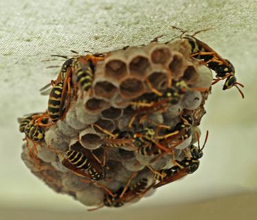 wespen, wespengift, wespenstich